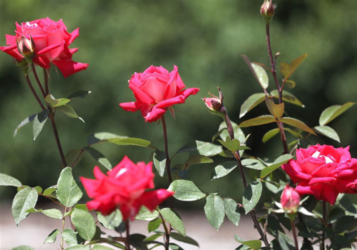گل های رز مقاوم