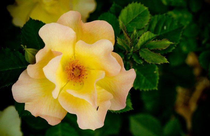 ویژگیهای گل رز پارک لند و کاربردهای آن
