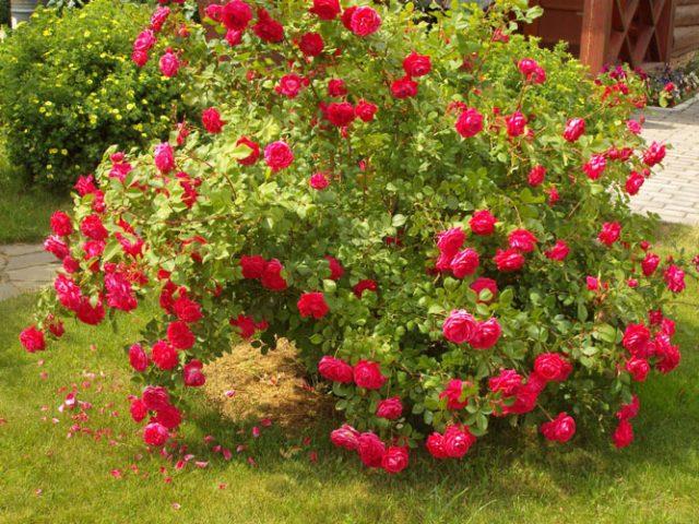 گل رز بوته ای