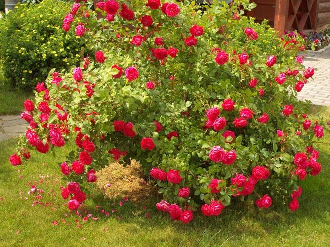 گل رز بوته ای | هیبریدی Moyesii