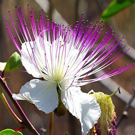 گل Capparis spinosa