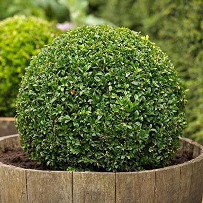 شمشاد (Buxus sempervirens)