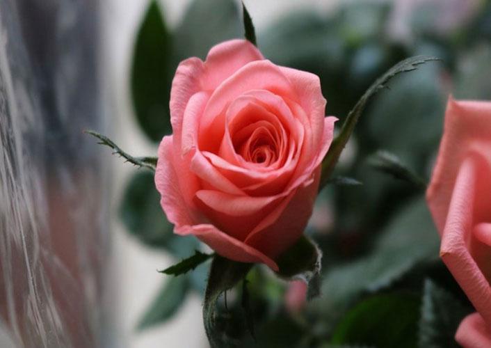گل رز باک
