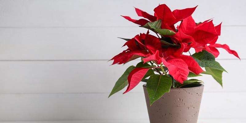 نگهداری گل کریسمس Poinsettias