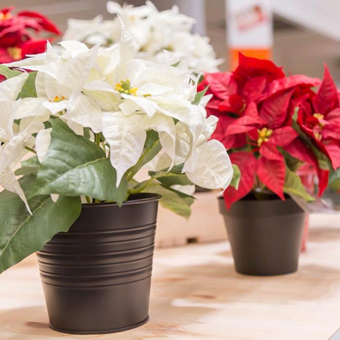 گلدان گل کریسمس