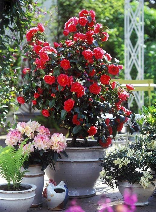 پرورش گل کاملیا در گلدان