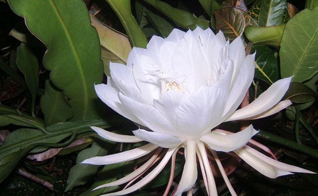 Native to Sri Lanka, Kadapul