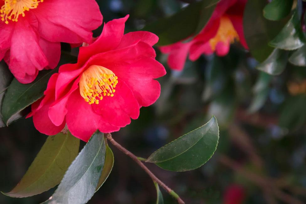 گل کاملیا قرمز