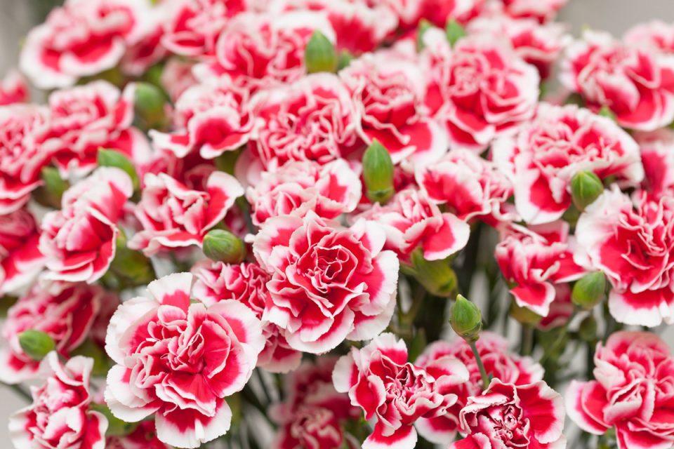 10 تا از محبوب ترین گل های روز مادر