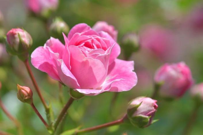 گل ماه تولد تیر