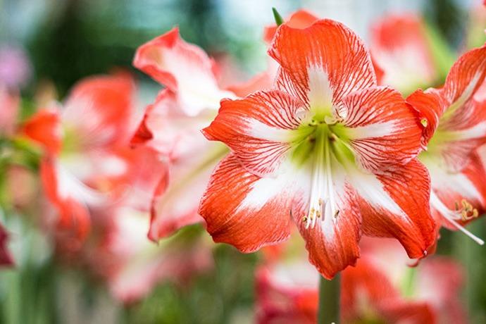 چگونه گل های آماریلیس (Hippeastrum) را پرورش دهیم