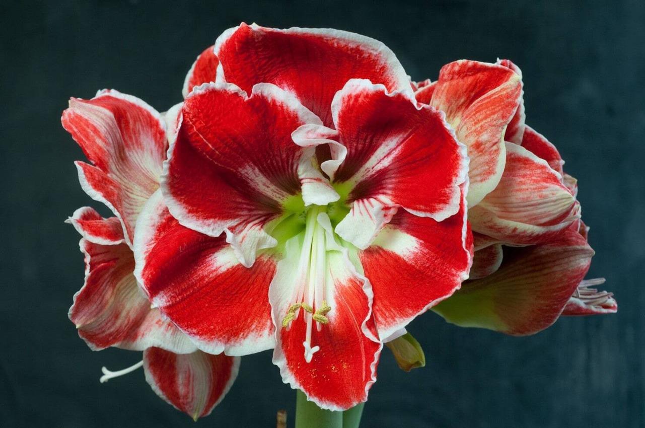 کاشت گل آماریلیس