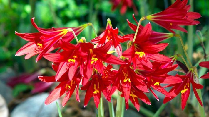 پرورش و نگهداری گل لیلیوم Oxbloods
