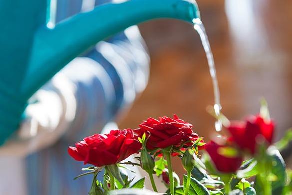 آبیاری گل رز