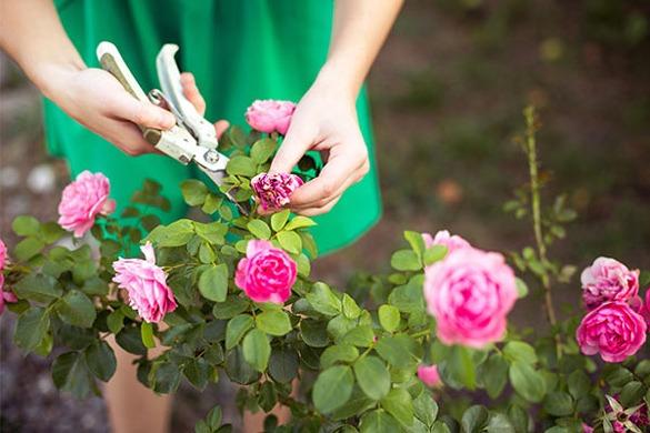 هرس کردن گل رز