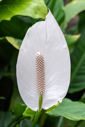گل (IRISES (IRIS یا زنبق