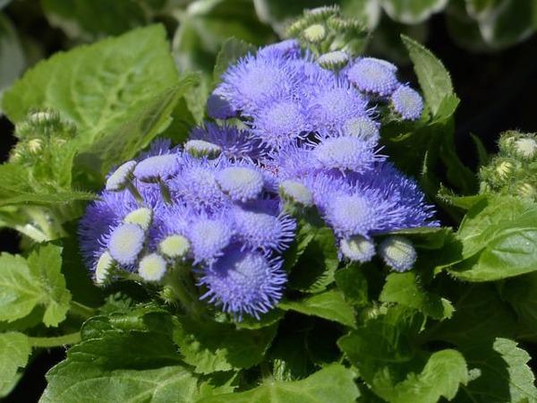 گل (FLOSS FLOWER (AGERATUM