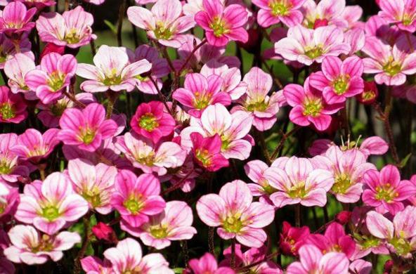 گل ساکسی فراژ