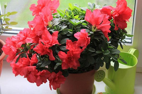 گل آزالیا در گلدان