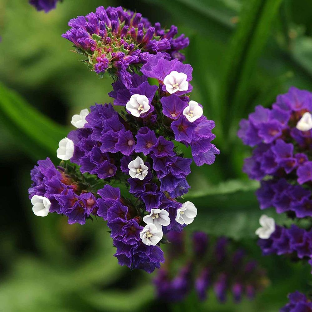 گل زنبوری