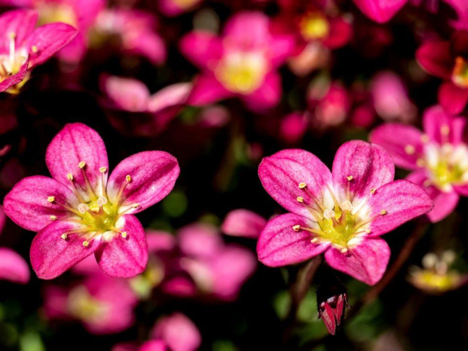 گل Saxifraga |گل ساکسی فراژ