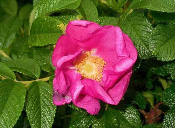 گل رز Rugosa