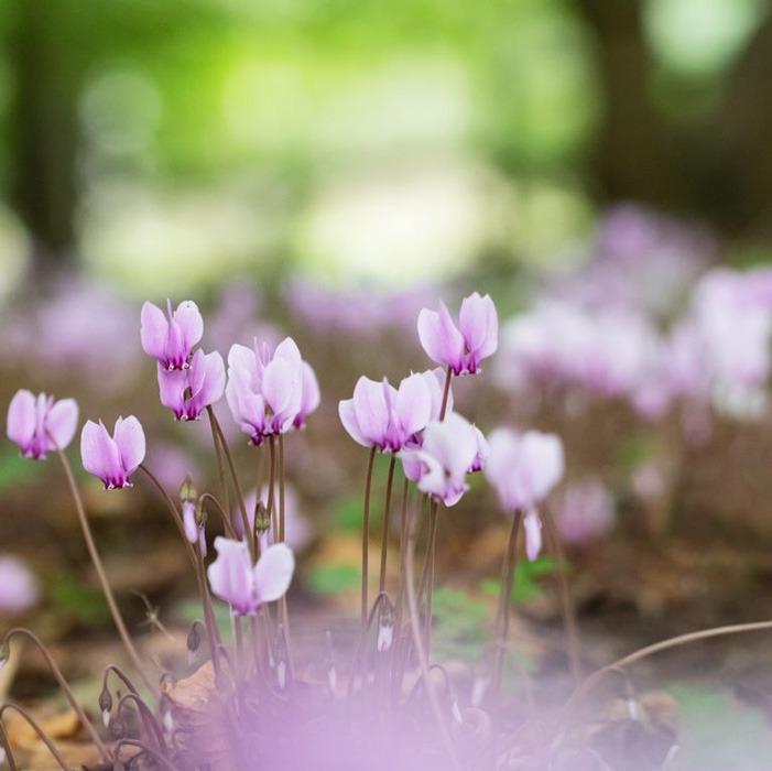 گل Cyclamen یا سیکلامن