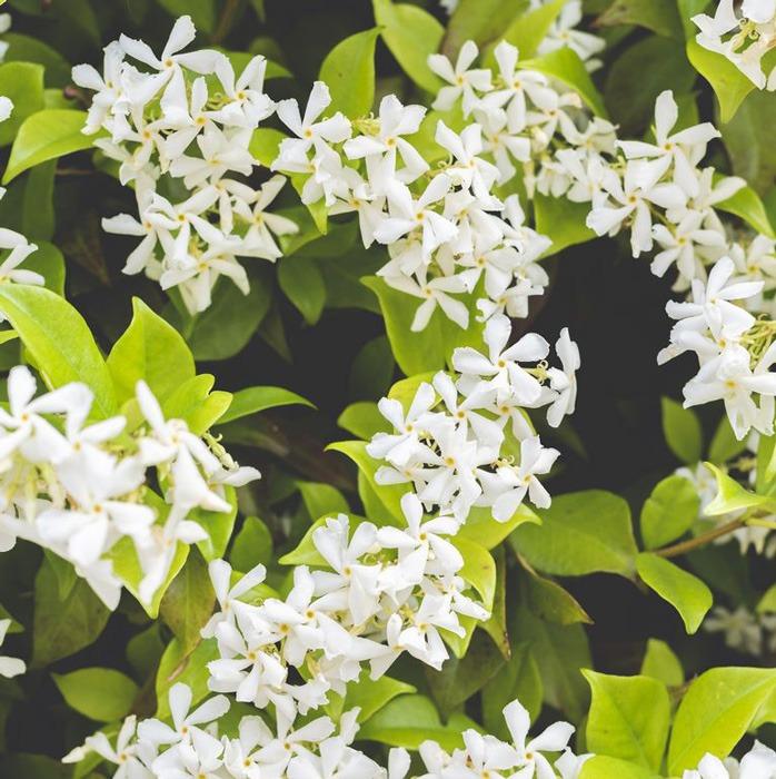 یاس یا Winter jasmine