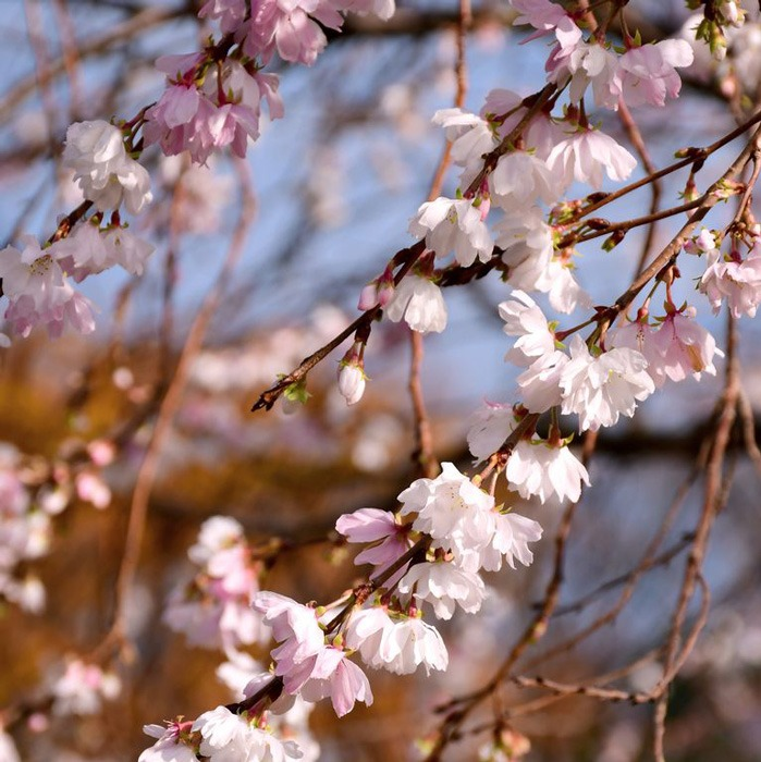 گیلاس گلدار زمستانی یا Winter-flowering cherry