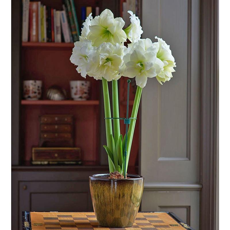 گل Alfresco