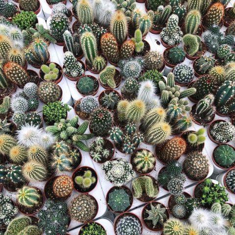 چگونه گیاه کاکتوس خانه را به شکوفایی تشویق کنم؟