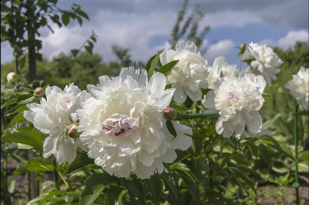 گل صد تومانی چینی