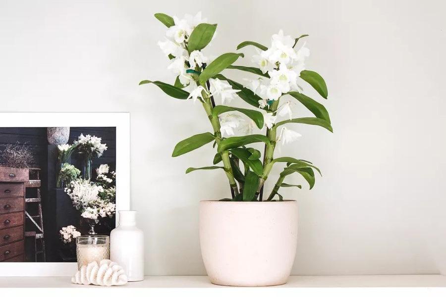 ارکیده Dendrobium | ارکیده دندروبیوم