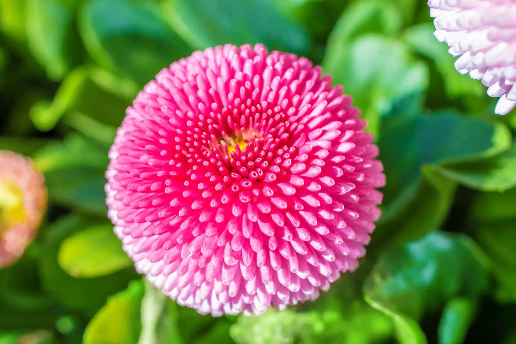 گل مینا چشم گاوی