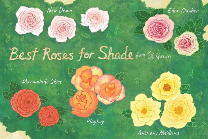 14 گل رز عالی برای باغ های سایه دار