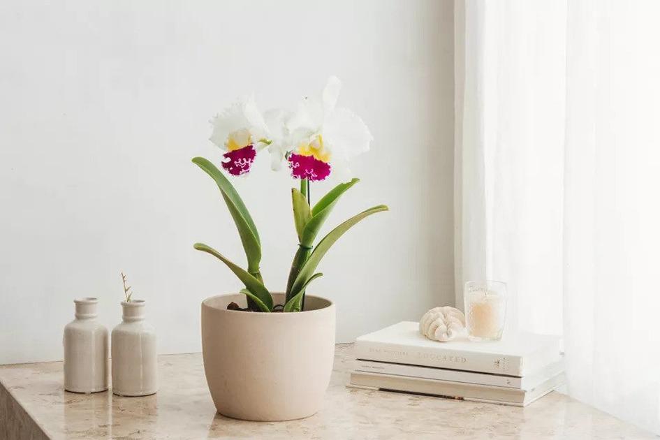 گل ارکیده کاتالیا Cattleya