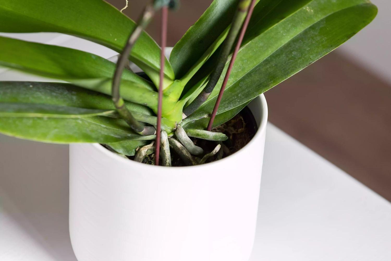 پرورش گل ارکیده Phalaenopsis در گلدان