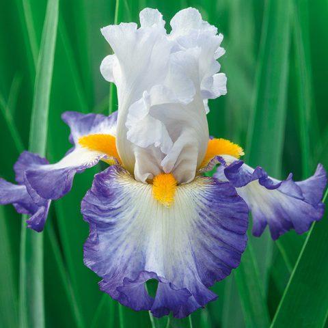 زنبق ریش دار