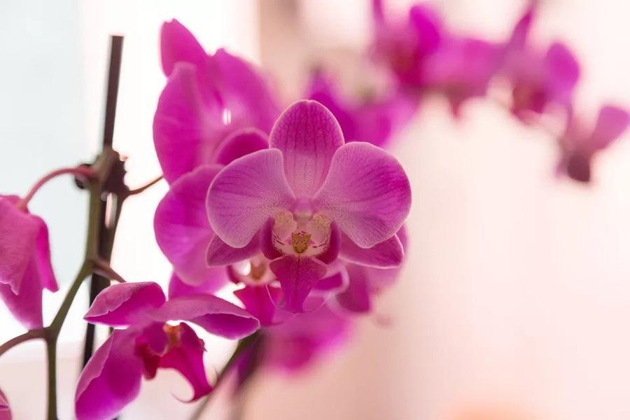 گل ارکیده Phalaenopsis