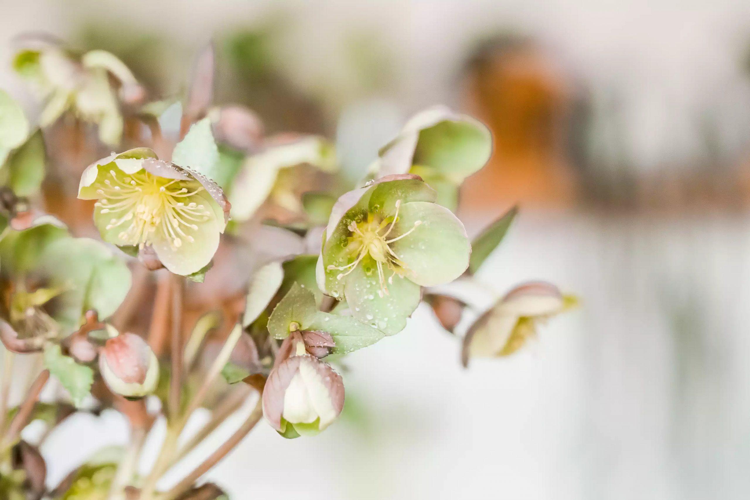 گل رز lenten