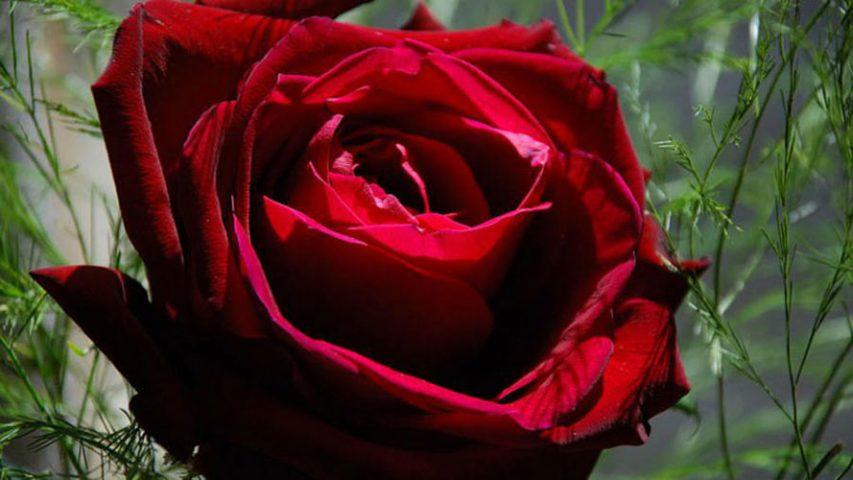 چگونه بذر گل رز را بکاریم