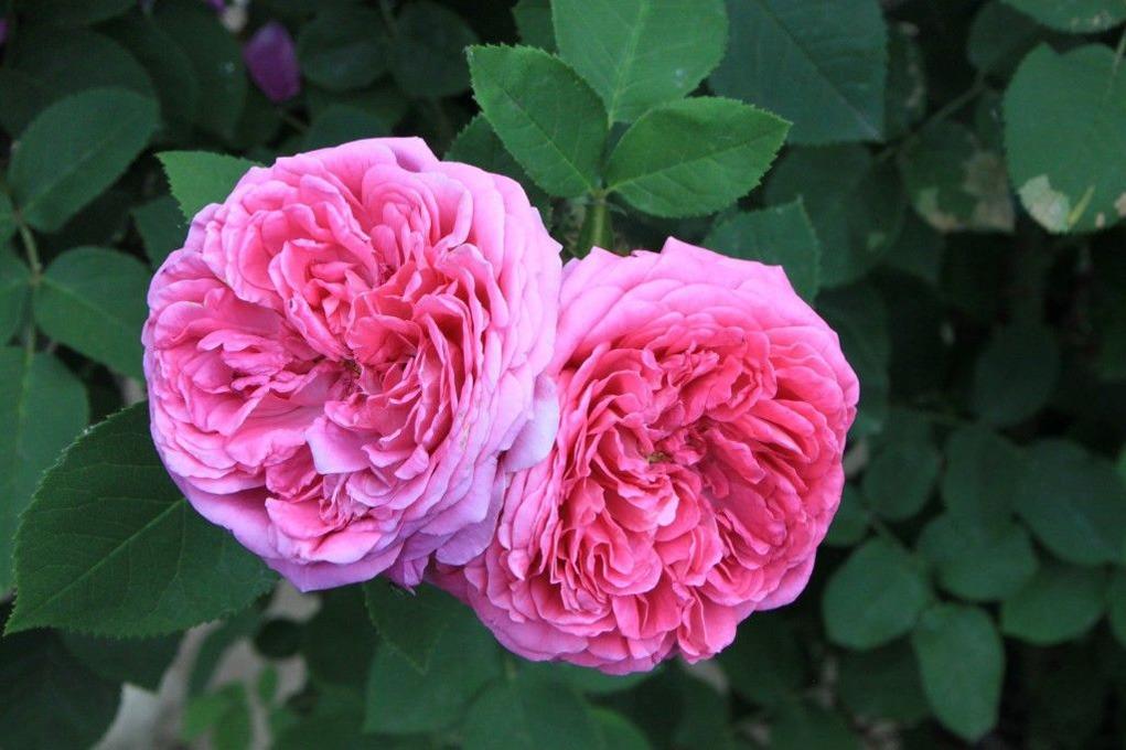 گل رز محمدی