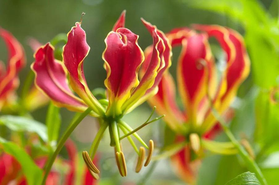 گل گلوریوزا لیلیوم