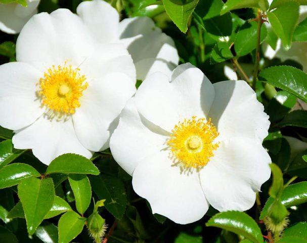 گل رز چروکی