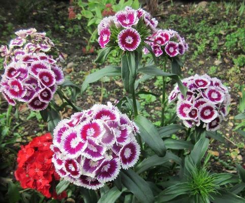 گل قرنفل