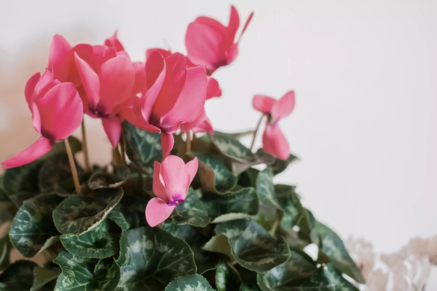 گل سیکلامن