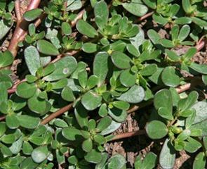 گیاه خرفه