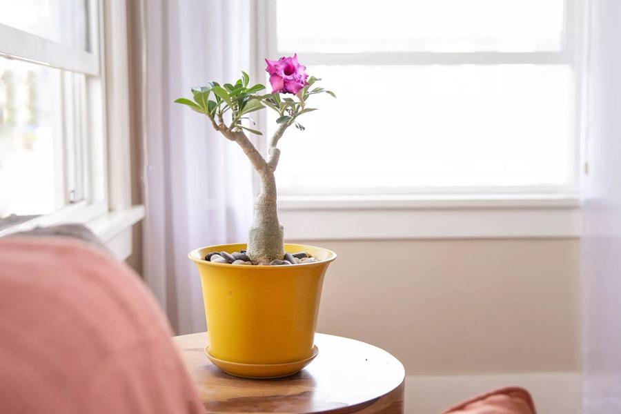 گل رز بیابانی