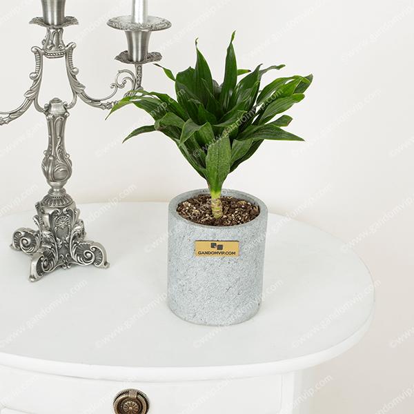 گلدان دراسانا