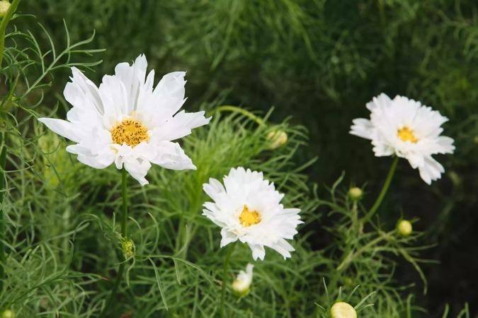 گل کیهان